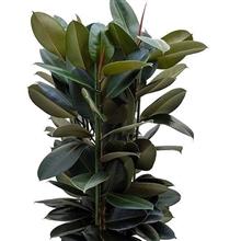 Ficus abidjan 1 p/m - 40 por bandeja