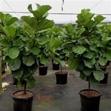 Ficus lyrata 1 p/m - 40 por bandeja