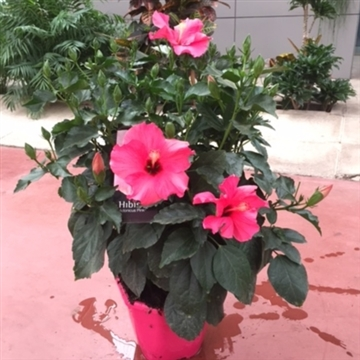 Hibiscus collection fantasy