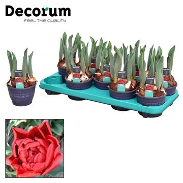 Tulipa Red Princess