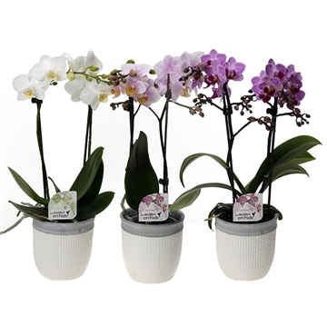 Phal. kolibri 2 spike in two structure white
