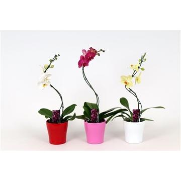 Phalaenopsis 1 tak 6+ mix Twister in keramiek