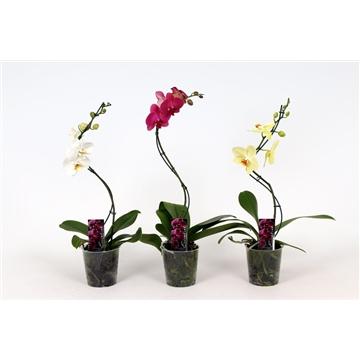 Phalaenopsis 1 tak 6+ mix Twister