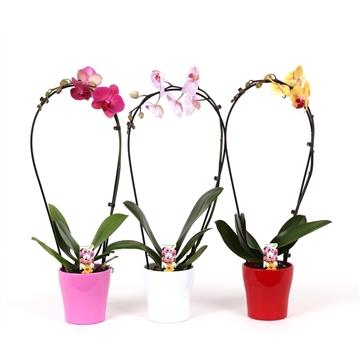 Phalaenopsis 1 tak 6+ mix Boog in keramiek