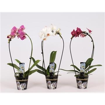 Phalaenopsis 1 tak 6+ mix Boog in potcover