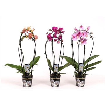 Phalaenopsis 2 tak 14+Double in potcover