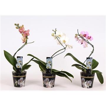 Phalaenopsis 1 tak 6+ Twister in potcover