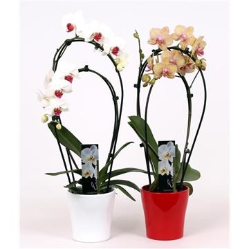 Phalaenopsis 2 tak 14+ mix Double in keramiek