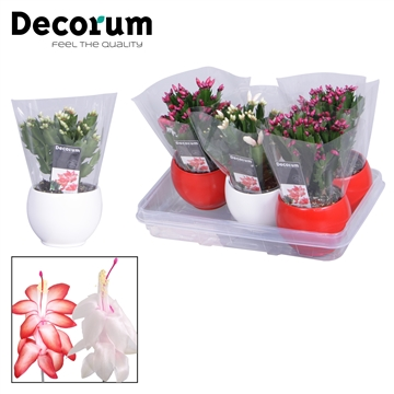 Schlumbergera - 10,5 cm -  Malanie bolpot red/white - Decorum