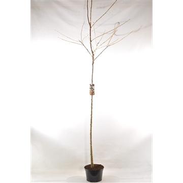 Prunus a. 'Regina'