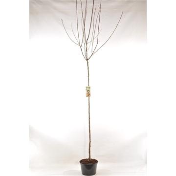 Prunus dom. 'Reine-Claude Verte'