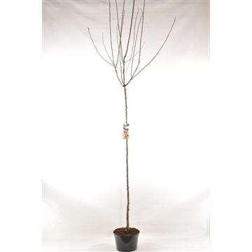 Prunus dom. 'Reine-Claude d'Althan'