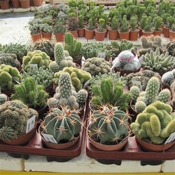 Cactus mix 13.5cm
