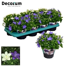 Campanula Blauw Wit Mix Decorum