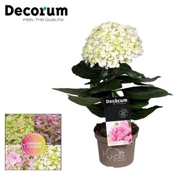 Hydrangea Avantgarde Roze (Decorum)