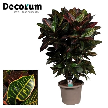 Croton Petra vertakt in deco pot (Decorum)