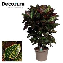 Croton Petra vertakt in deco pot (Decorum)