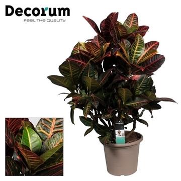Croton Petra vertakt 75-85 cm in deco pot (Decorum)