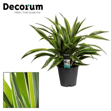 Drac Lemon Lime 3 stekken per pot (Decorum)