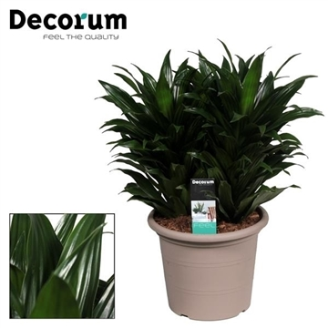 Drac Compacta 3 stekken per pot (Decorum)