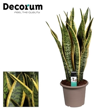 Sansevieria Laurentii (20+ blad) in deco pot (Decorum)