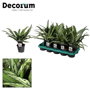 Aglaonema Cutlass (Decorum)