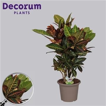 Croton Petra vertakt 75-85 cm in deco pot (RUSSIA)