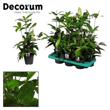 Drac Surculosa (Decorum)