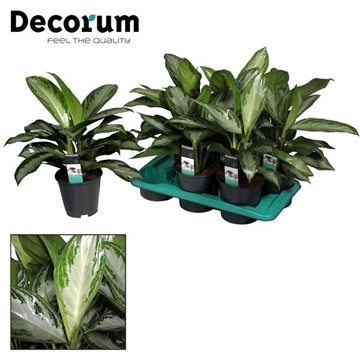 Aglaonema Silver Bay 3 stekken p.p. (Decorum)
