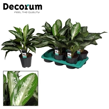 Aglaonema Diamond Bay 3 stekken p.p. (Decorum)