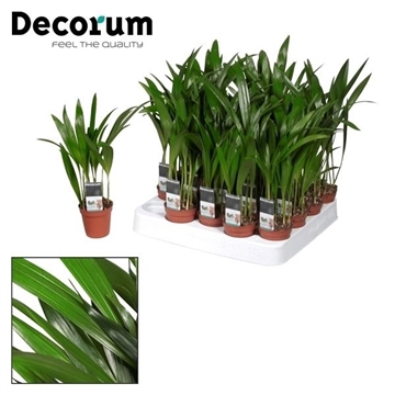 Tiny Pammy (Areca) (Decorum)