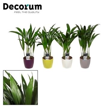 Dypsis lutescens (Areca) in Sara pot (Decorum)