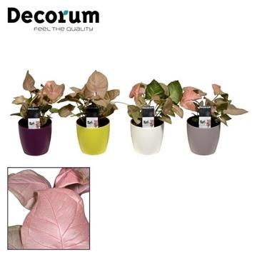 Syngonium Neon Robusta in Sara pot (Decorum)
