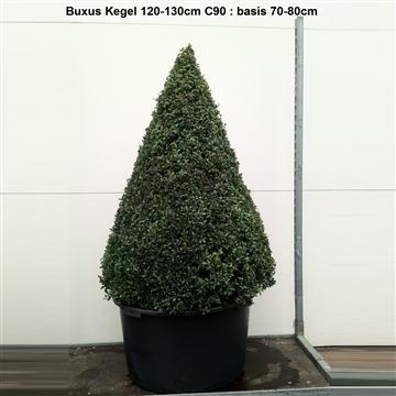 Buxus sempervirens overig