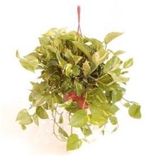 Epipremnum Hang/colgar pot