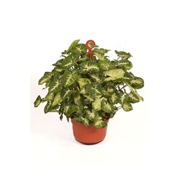 Syngonium pixie Hang/colgar pot