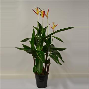 Heliconia psittacorum Hawai