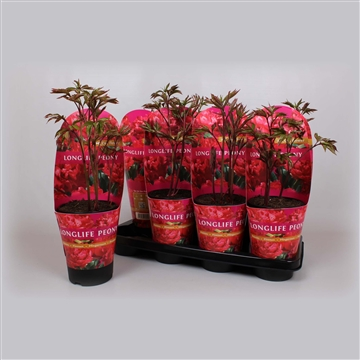Paeonia 13CM rood Longlife
