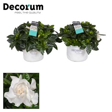 Gardenia  Home pot