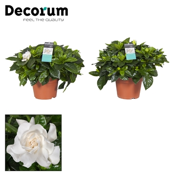 Gardenia 17 Cm + sticker