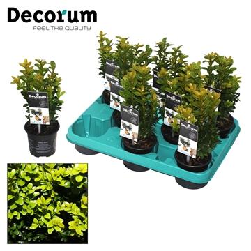 Buxus Decorum P9