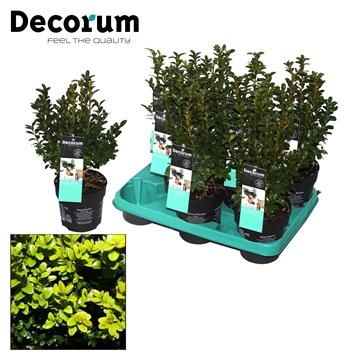 Buxus Decorum P12