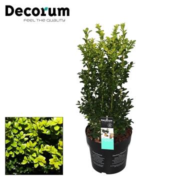 Buxus Decorum P19