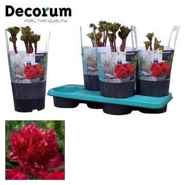 Paeonia 17CM rood Decorum