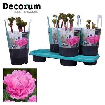 Paeonia 17CM roze Decorum