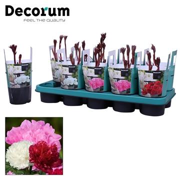 Paeonia 12CM mix Decorum