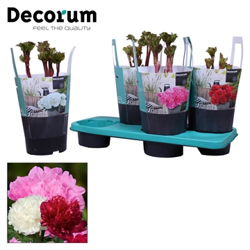 Paeonia 17CM mix Decorum