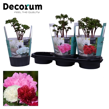 Paeonia 19CM mix Decorum