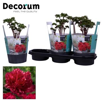 Paeonia 19CM rood Decorum