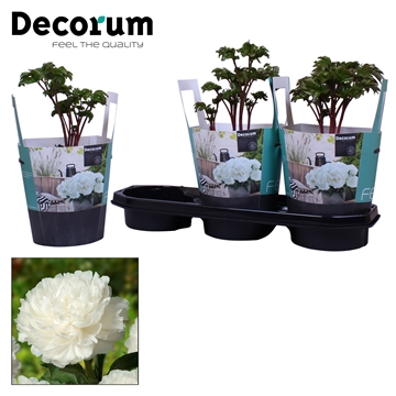 Paeonia 19CM wit Decorum